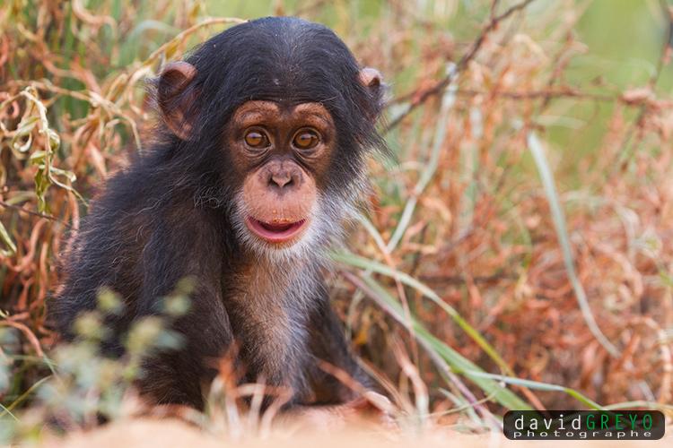 Bébé chimpanzé sur les bords du Niger