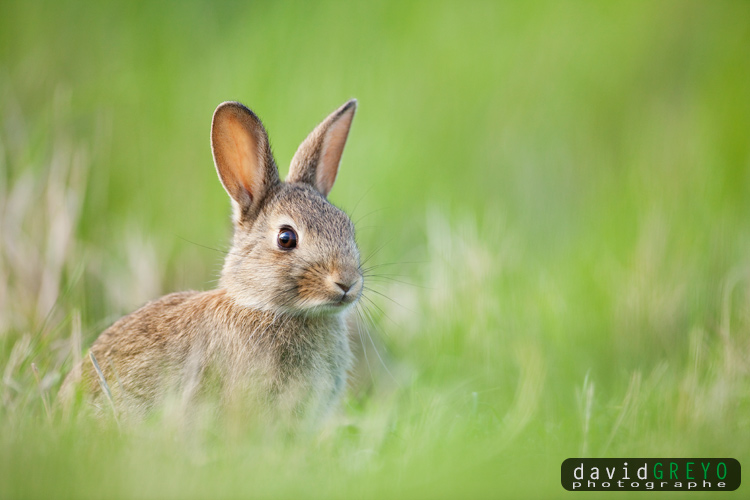 Semaine 17 lapin de garenne david greyo photographe - Cuisiner un lapin de garenne ...