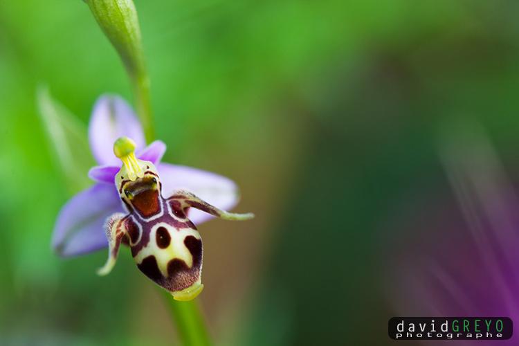 Ophrys cornu