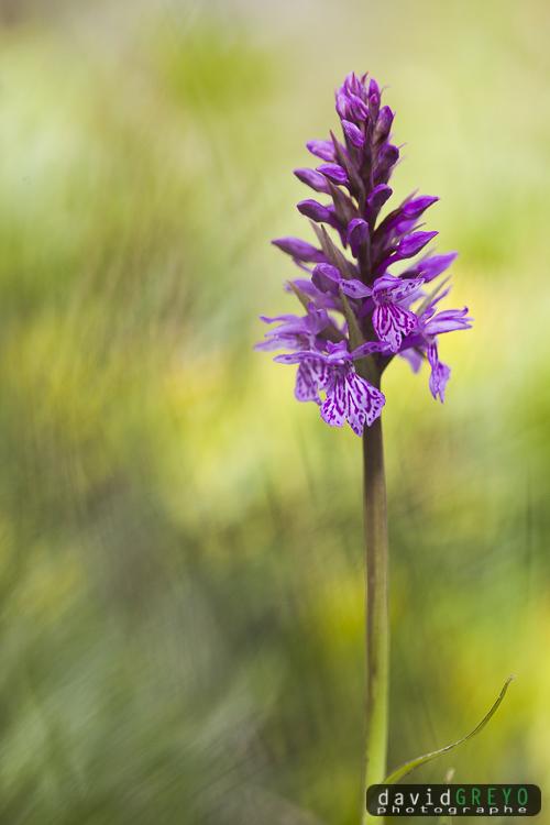 Orchis de Fucsh