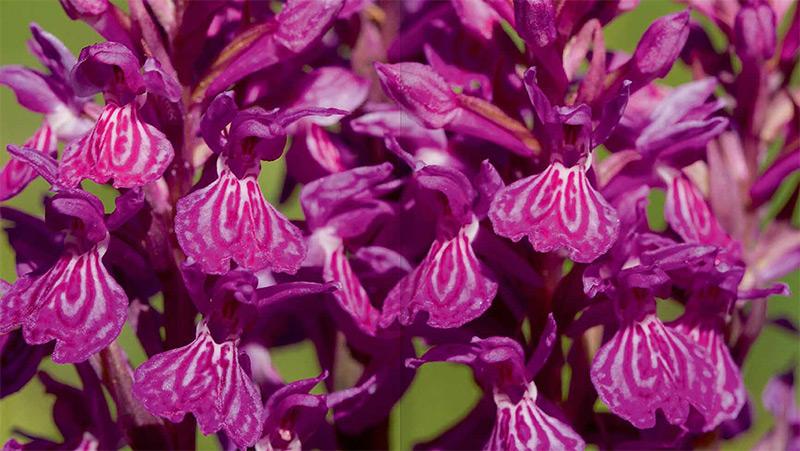 sauvages-orchidées_514_fr