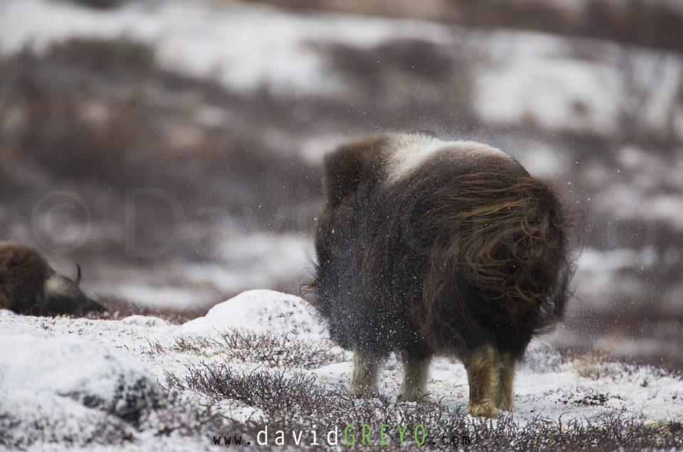 Les Bœufs musqués du Dovrefjell