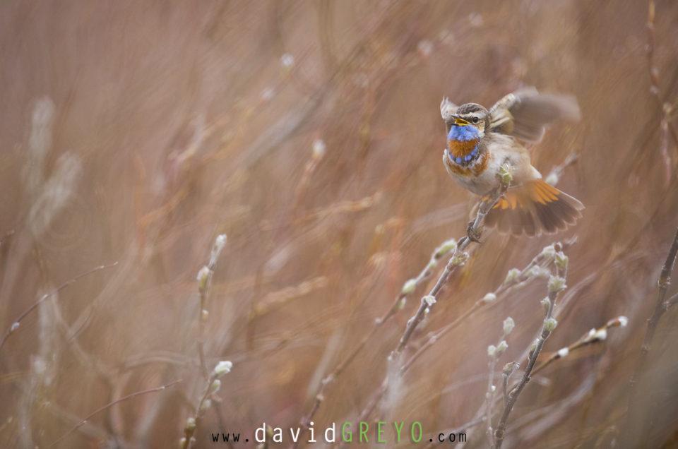 Les oiseaux du Varanger