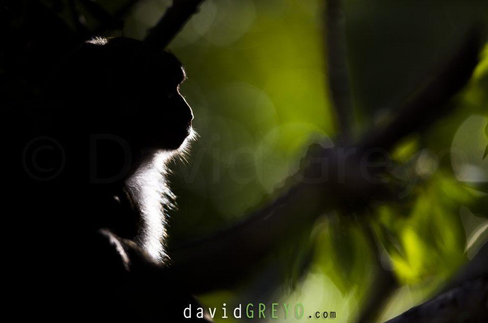 Semaine 48 : Macaque rhésus