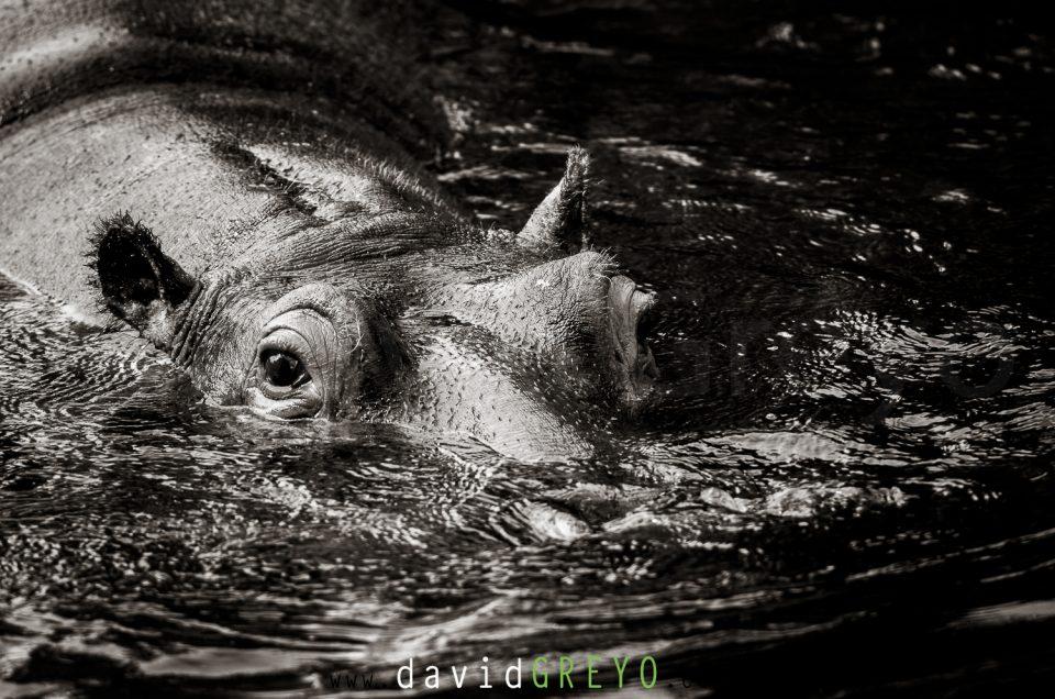 Semaine 39 : Hippopotame commun