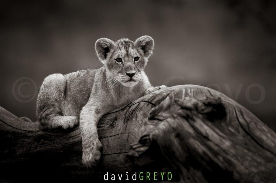 Semaine 47 : Lionceau