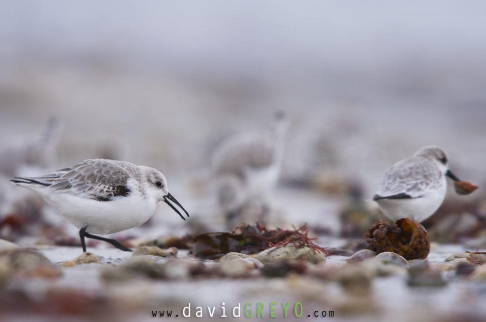 Semaine 4 : Bécasseau de sanderling