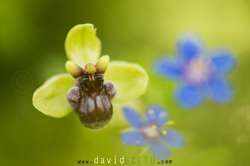 Semaine 17 : Ophrys bombyx