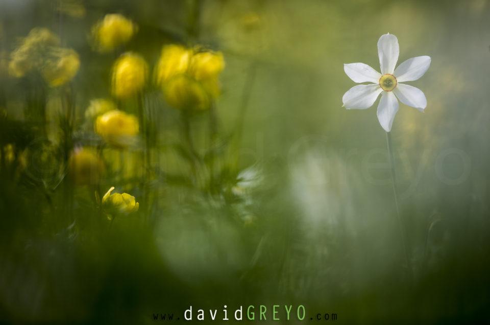 Semaine 20 : Narcisse
