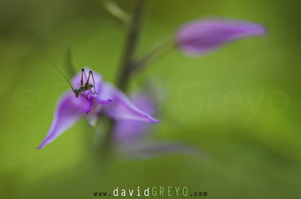 Semaine 24  : la sauterelle et l'orchidée