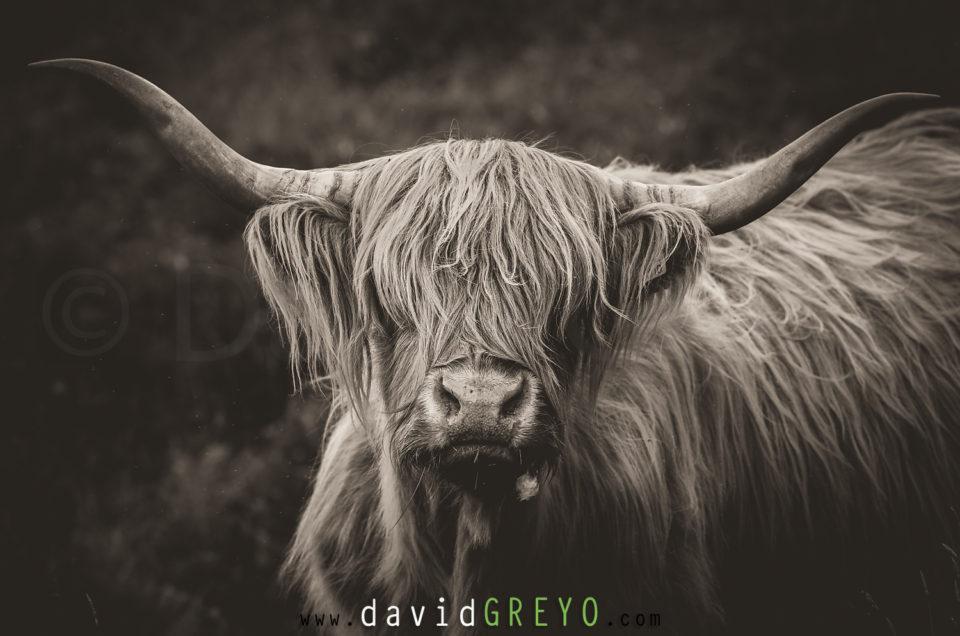 Semaine 25 : Vache Highland