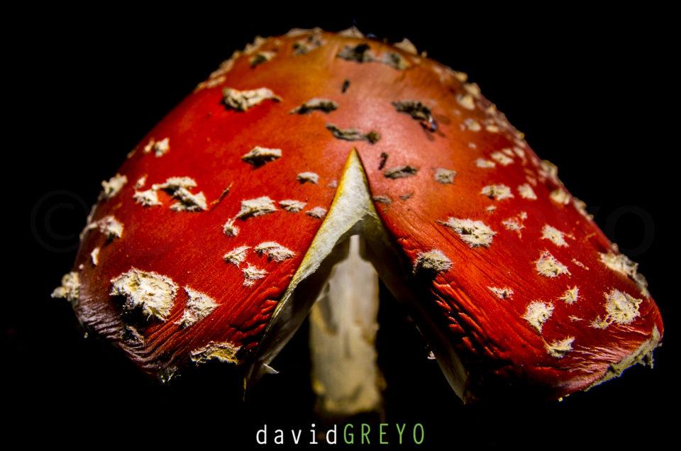 Semaine 37 : Amanite tue-mouches