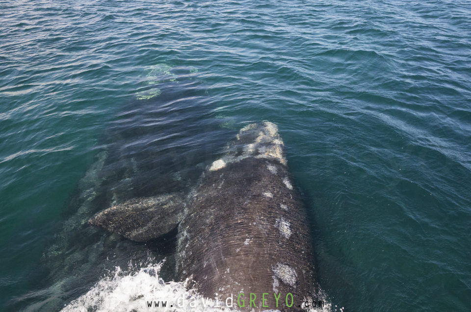 Semaine 47 : Baleine franche