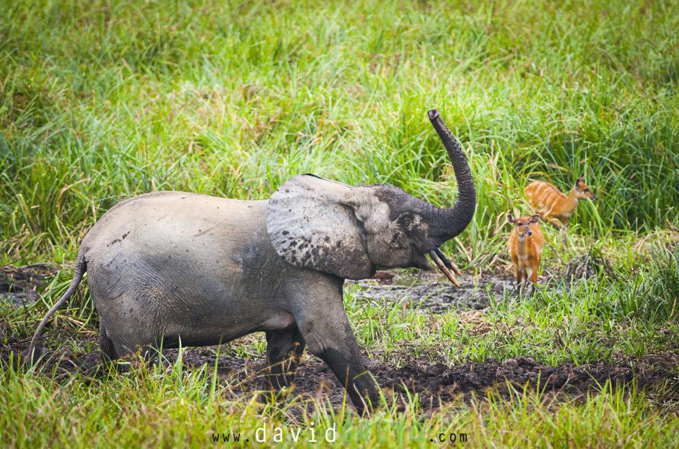 Semaine 36 : Éléphant de forêt