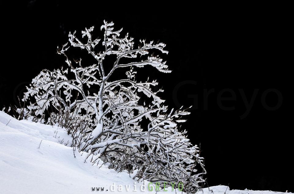 Semaine 49 : arbre enneigé