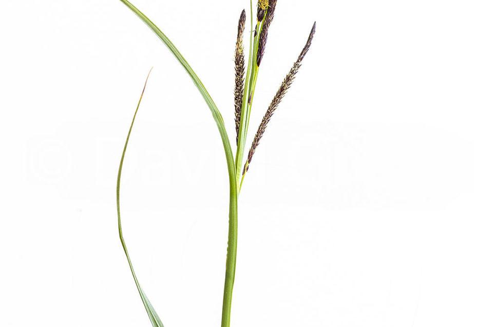 Semaine 15 : Carex
