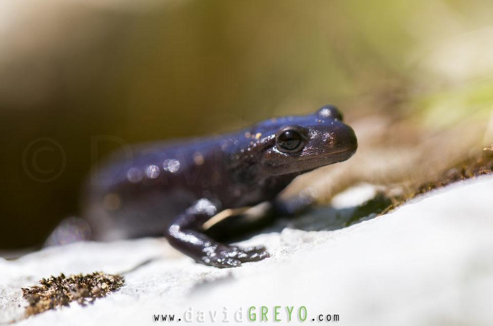Semaine 21 : Salamandre noire
